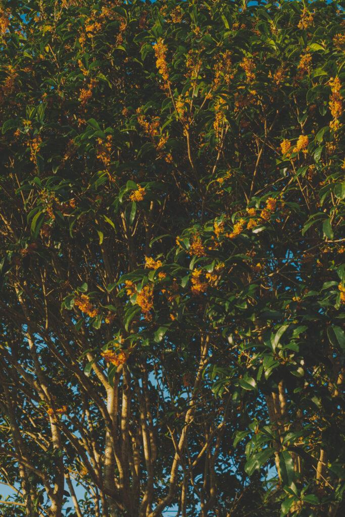 金木犀の色