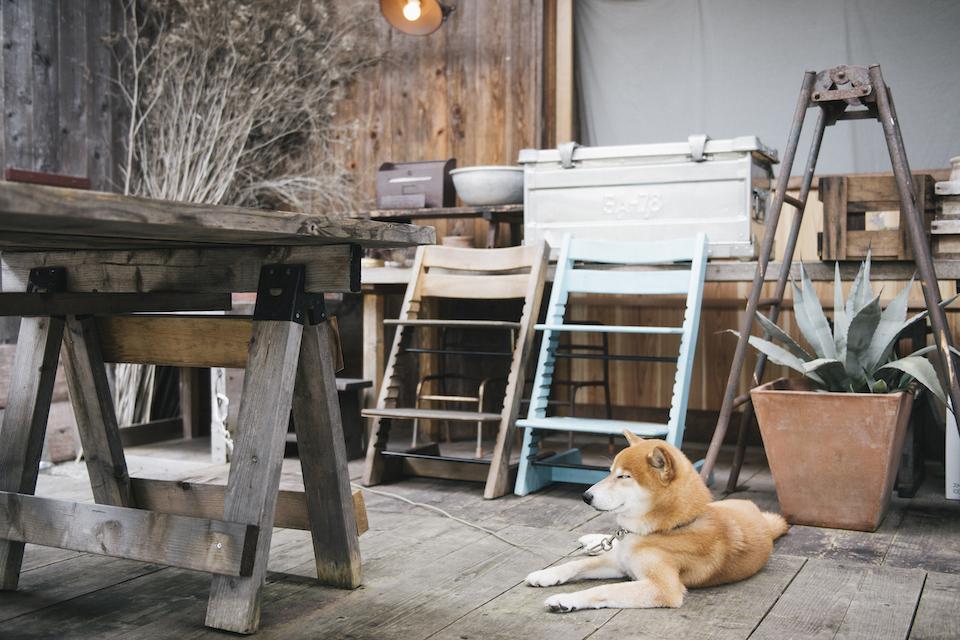 柴犬男子シヴァの定位置は、テラスのデッキ。カフェを訪れるゲストに愛嬌を振りまきます。