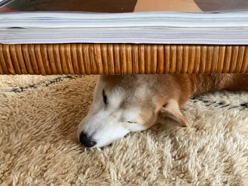 テーブルの下から見えるのは。 モク 柴犬